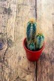 Cactusinstallatie met doornen stock afbeelding