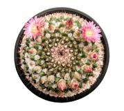 Cactusinstallatie met roze bloemen en knoppen in zwarte plastic potten hoogste die mening op witte achtergrond, weg wordt geïsole stock afbeeldingen