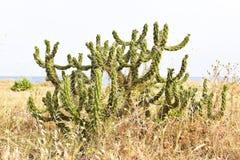 Cactusinstallatie op het strand, Malaga, Spanje Stock Foto