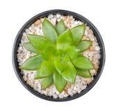 Cactusinstallatie in plastic potten hoogste die mening op witte backgroun wordt geïsoleerd Royalty-vrije Stock Fotografie