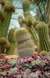 Cactusinstallaties Royalty-vrije Stock Fotografie