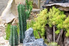 Cactusinstallaties op tuinachtergrond Stock Afbeelding