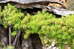 Cactusinstallaties op tuinachtergrond Stock Afbeeldingen