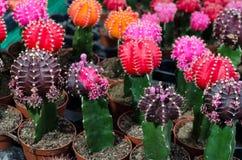 Cactusinstallaties op vaas in een markt van installaties Royalty-vrije Stock Afbeelding