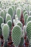 Cactusinstallaties in serre royalty-vrije stock afbeelding