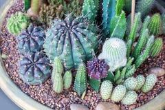 Cactusinzameling Stock Afbeelding
