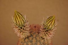 Cactusknoppen royalty-vrije stock afbeeldingen