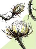 Cactuskoningin van de nacht Stock Afbeelding