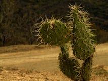 Cactusl sur la route Photo stock