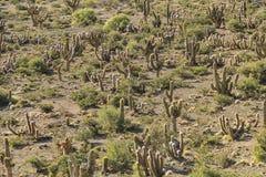 Cactuslandschap Royalty-vrije Stock Fotografie