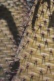 Cactusnaalden Royalty-vrije Stock Afbeelding