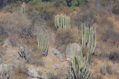 Cactussen Stock Foto's