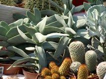Cactussen Royalty-vrije Stock Foto