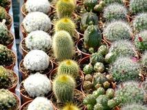Cactussen Stock Fotografie