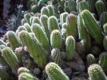 Cactussen Stock Foto
