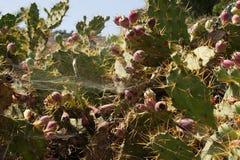 Cactussen Royalty-vrije Stock Afbeelding