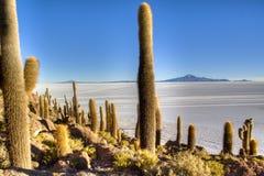 Cactussen bij saltflates Stock Afbeelding