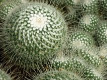Cactussen, cactus, netelige installatie, succulent, royalty-vrije stock foto's