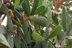 Cactussen in de botanische tuin in Balchik Stock Afbeelding