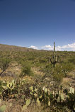 Cactussen in de Woestijn Sonoran Stock Foto