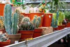 Cactussen in een huis en tuindetailhandel van de installatiespecialist stock afbeeldingen