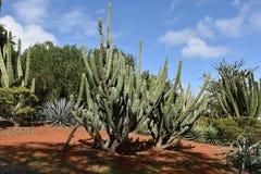 Cactussen in Koko Crater Botanical Garden stock fotografie