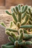 Cactussen in North America desert. Sunny day stock image