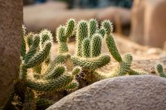 Cactussen in North America desert. Sunny day royalty free stock images