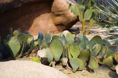 Cactussen in North America desert. Sunny day Royalty Free Stock Photos