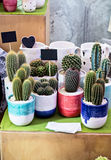 Cactussen op de lijst Royalty-vrije Stock Foto's