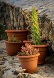 Cactussen op steenstappen Stock Afbeeldingen