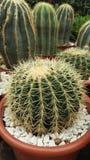Cactussen in potten royalty-vrije stock foto