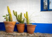 Cactussen tegen de muur Royalty-vrije Stock Fotografie