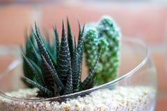 Cactussen in terrarium met bakstenen muur op achtergrond Stock Foto