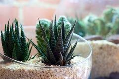Cactussen in terrarium met bakstenen muur op achtergrond Royalty-vrije Stock Foto's
