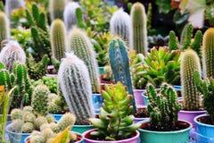 Cactussencactus en succulents stock foto's