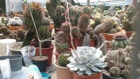 Cactussencactus en succulents stock foto