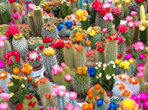 Cactusses Stock Photography