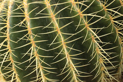 Cactustextuur Royalty-vrije Stock Foto's