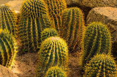 Cactustuin Royalty-vrije Stock Afbeelding