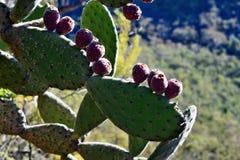 Cactusvijgencactus in Australië Royalty-vrije Stock Foto's