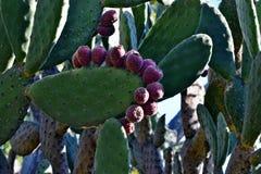 Cactusvijgencactus in Australië Stock Foto's