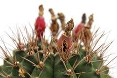 Cactuszaden Stock Fotografie