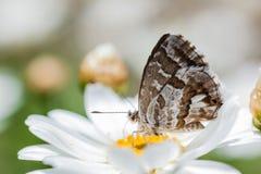 Cacyreus marshalli 免版税库存图片