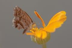 Cacyreus-marshalli Stockfotografie