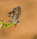 Cacyreus marshalli butterfly from Toscane Stock Image
