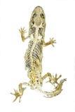 Cadáver del lagarto en el fondo blanco Fotografía de archivo