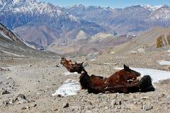 Cadáver do cavalo abandonado em montanhas de Himalaya imagem de stock