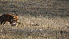 Cadáver inoperante dos cervos de ovas da captura bonita da tração do Vulpes da raposa vermelha no campo filme