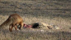 Cadáver inoperante dos cervos de ovas no campo e na raposa vermelha vídeos de arquivo